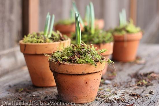 spring bulbs in terra cotta pots