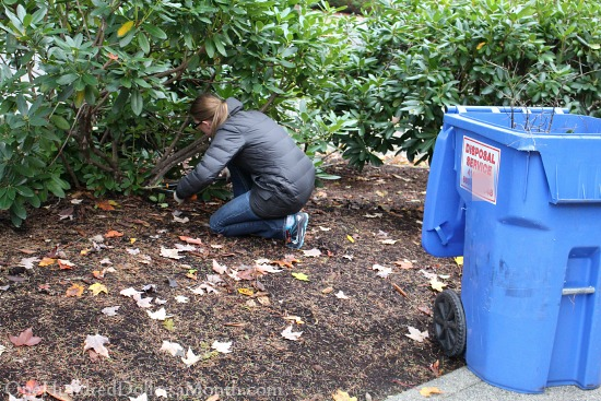 Pruning Rhododendrons