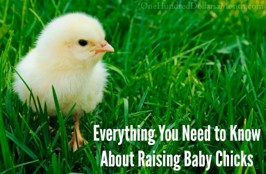 Everything You Need to Know About Raising Baby Chicks