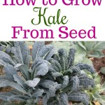 Dig for Your Dinner – Growing Kale From Seed