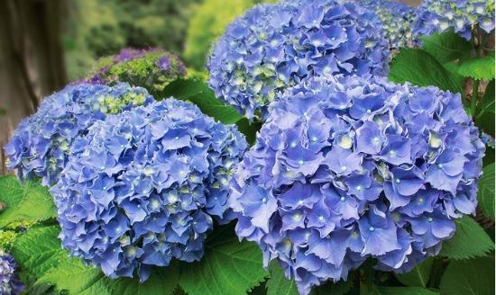 blue hydranga shrub