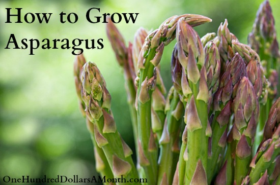 how-to-grow-asparagus