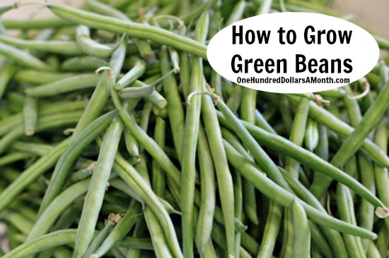 how-to-grow-green-beans