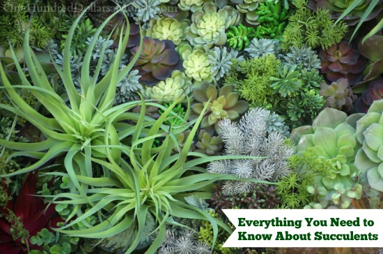Everything You Need to Know About Succulents