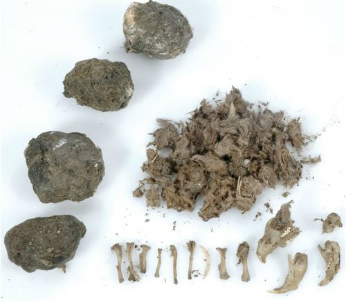 owl pellets