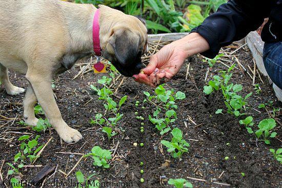 puggle-puppies-fall-garden