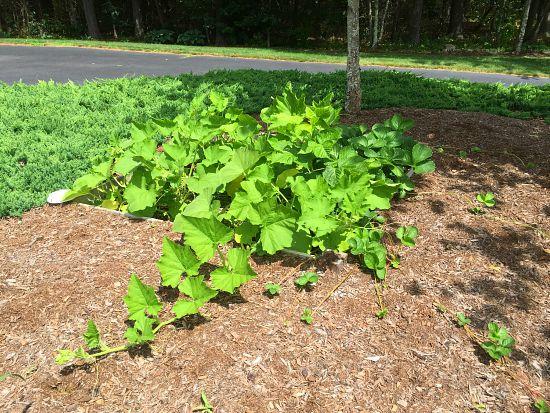 squash plant sprawling