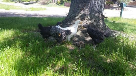 tanya chicken pics4