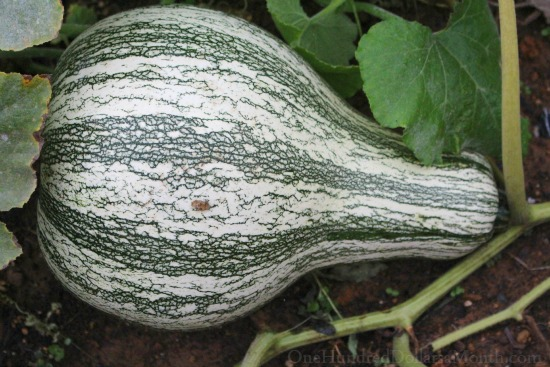 crenshaw winter squash