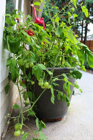 growing tomatoes in a container