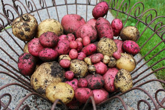 organic new potatoes