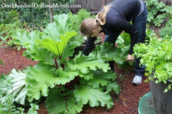 picking-rhubarb-1