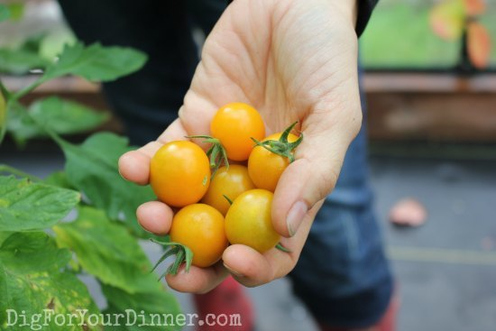 sungold-tomatoes