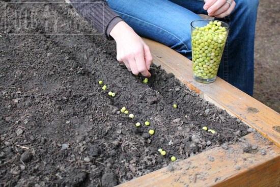 planitng peas
