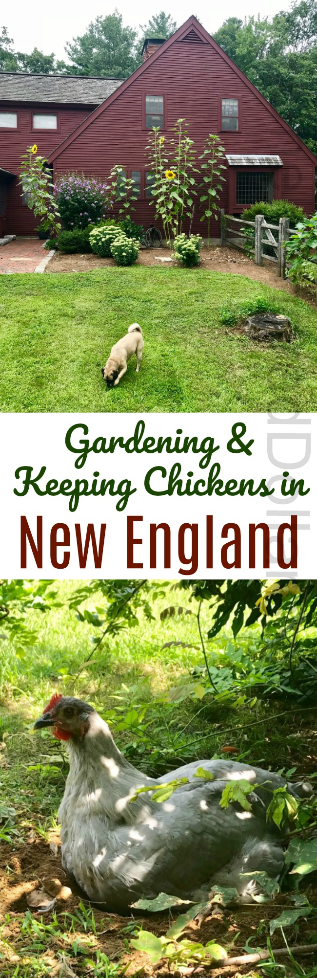 Gardening in New England - An Update on the Chicken Run ...