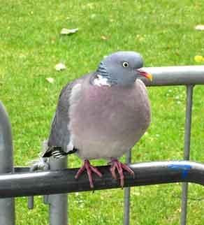 flashy pigeon