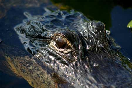 Gator's Eye