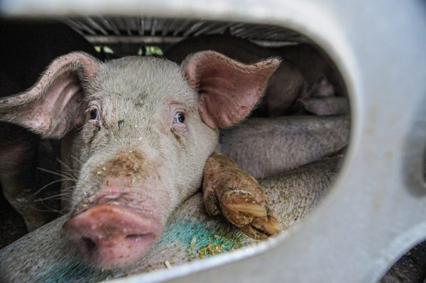 CAFOs in Missouri: We Need to Be Careful.