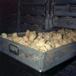 Polli di batteria in Rete