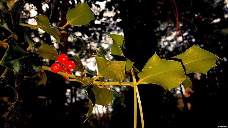 Holly and Berries highlighted against the trees.