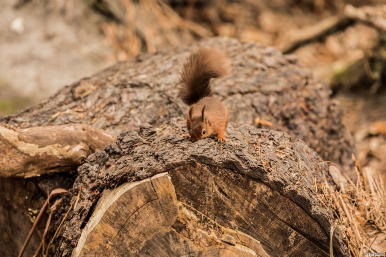 Red Squirrel.