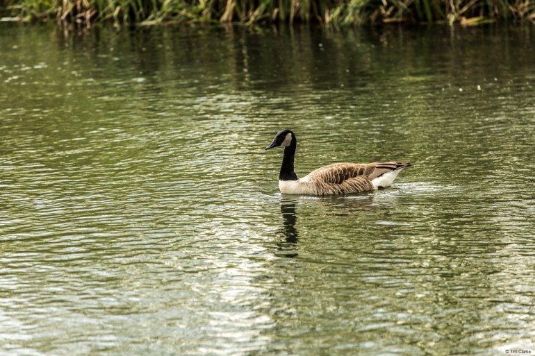 Canada Goose on the River: Swimming near our mooring.