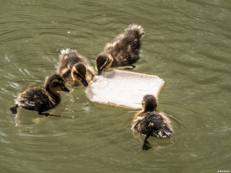 Feeding Ducklings: A slice of bread getting attacked!