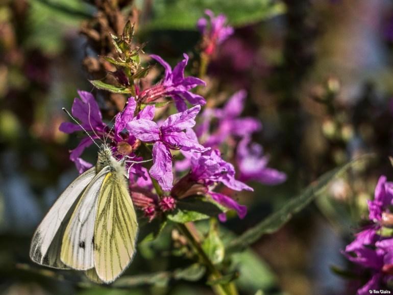 Green Veined White Butterfly: Enjoying a feast on a buddleia.