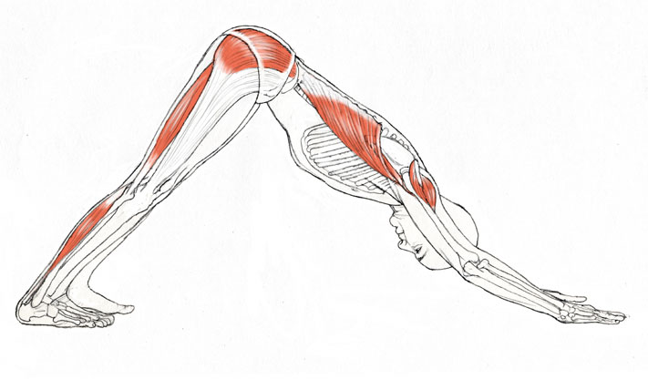 adhomukhasvanasana muscles