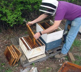 Making a split. Probably stressful for the bees.