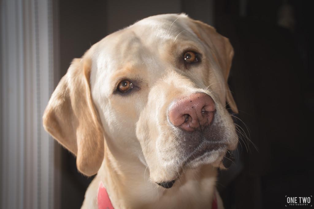labrador head tilt pet portrait