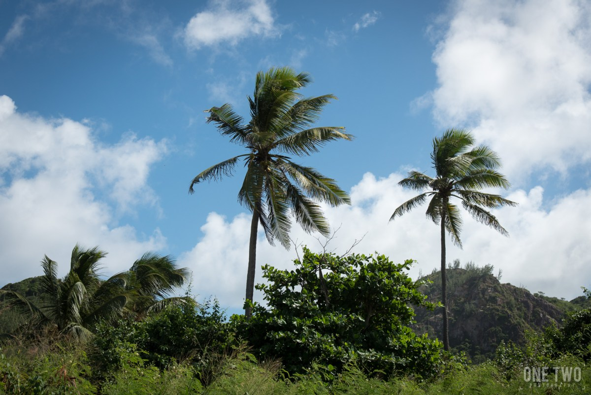 barbados palm trees