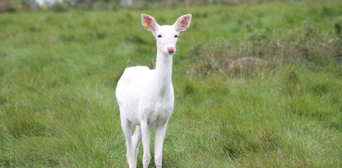 white albino deer