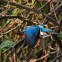 Kingfishers of India