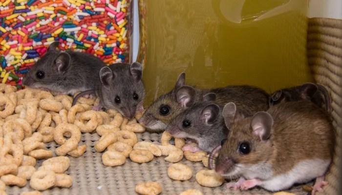 Spreekbeurt over muizen