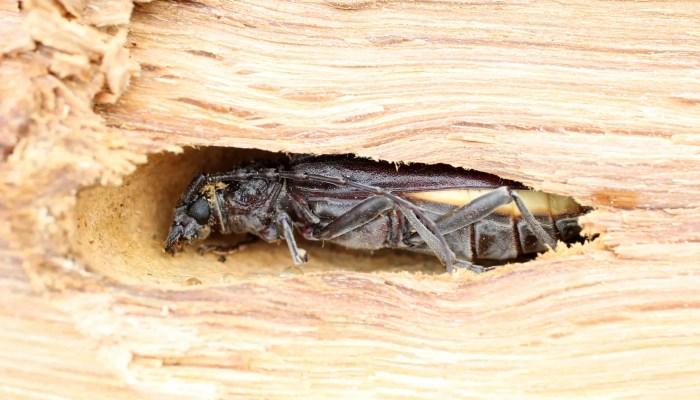 Aziatische boktorren aangetroffen in het Brabantse Berghem