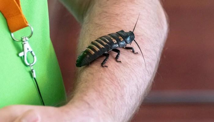 Wistjedatjes – Kakkerlakken