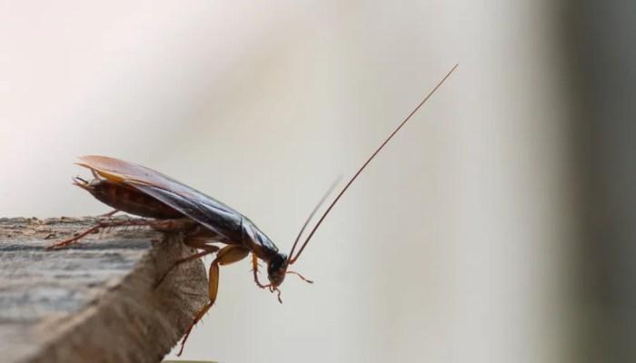 De snelle verdwijntruc van kakkerlakken