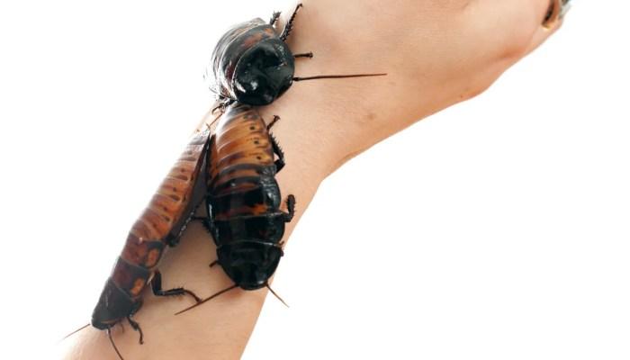 Kakkerlakken als huisdieren in Amerika