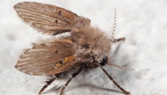 Motmuggen: motten of muggen? Rioolvliegjes of Aalputmotjes?