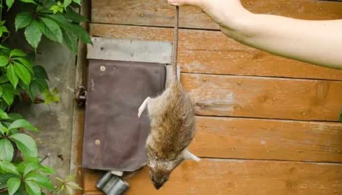 Vrouwen houdt dode muis vast in hand
