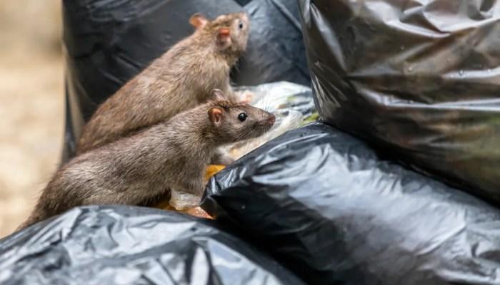 Ratten veroorzaken meer gevallen Ziekte van Weil