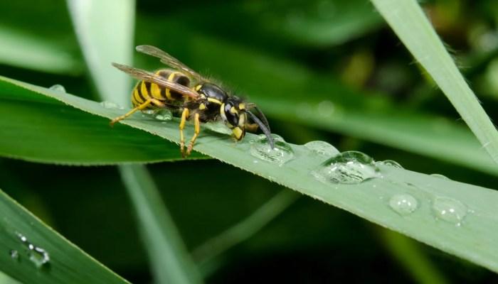 Wespen gevoelig voor zware regenval