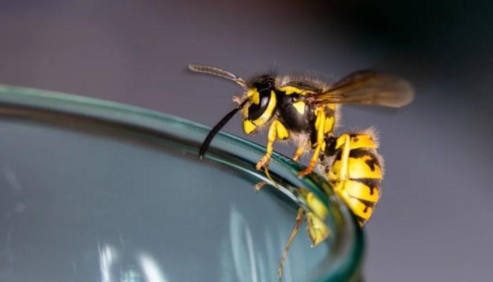 Spreekbeurt over wespen