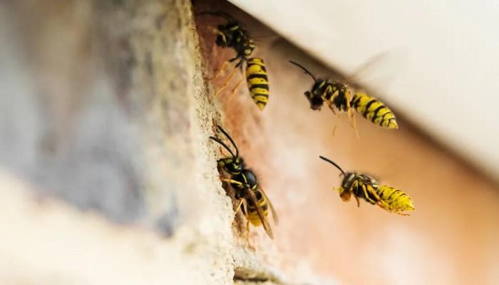 Tips bij wespennest in spouwmuur