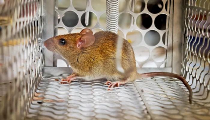 Muizen zelf bestrijden