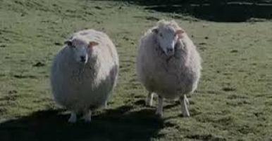 ovejas asesinas nueva zelanda