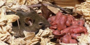 House_Mouse_with_Offspring
