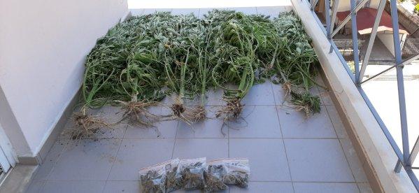 Τρίκαλα: Καλλιεργούσε κάνναβη σε αυτοσχέδιο θερμοκήπιο - Δείτε φωτογραφίες