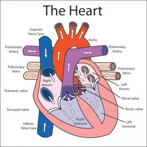 The structure and the function of the heart in the circulatory system | Science online